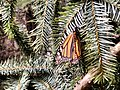 Monarch Butterfly in Mexican Forest.jpg