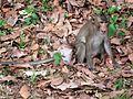 Monkeys of Cambodia 03.JPG