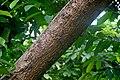 Monodora myristica in Tropengewächshäuser des Botanischen Gartens.jpg