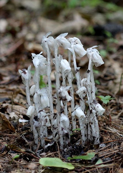 File:Monotropa uniflora in Penwood State Park 3, 2009-07-03.jpg
