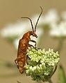Monstres 83 - Rhagonycha fulva (530294517).jpg