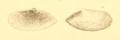 Montagu1808 pl26 fig3 Abra prismatica.png