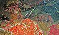 Moorish Idol (Zanclus cornutus) (6053219034).jpg
