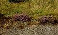 Moorland heather growing in the Dearne Valley. - geograph.org.uk - 535224.jpg