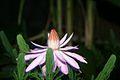 Morning 3 - Nymphaea Tropical Night-Blooming Water Lily, Waterlily, Tiger Lotus (Nymphaea lotus).jpg