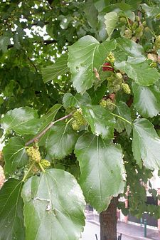 Morus alba leaves and fruits.jpg