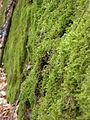 Moss - Gatineau Park 02.jpg