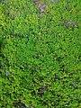 Moss of Bangladesh.jpg