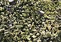 Mosses on stone, Kartal Dağı 01.jpg