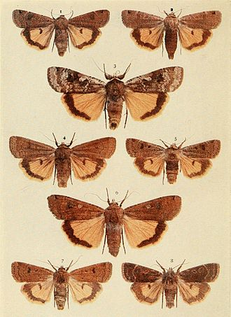 Lesser yellow underwing - Comparison 1, 2. lunar yellow underwing (Noctua orbona) 4, 5, 7, 8. lesser yellow underwing (Noctua comes) 3, 6. large yellow underwing (Noctua pronuba)