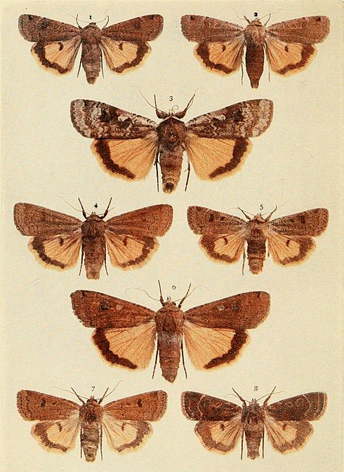 Moths of the British Isles Plate115.jpg