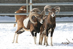 Mouflon - A group of mouflon at the Buffalo Zoo