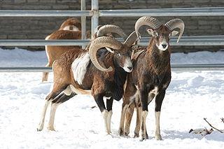 Mouflon common name