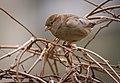 Mrs Sparrow (47293896752).jpg