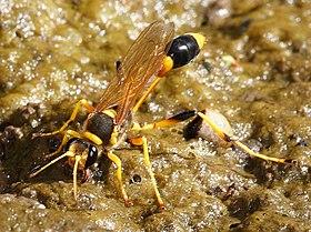 Bộ sưu tập côn trùng 2 - Page 6 280px-Mud-dauber_Wasp_-_sceliphron_laetum