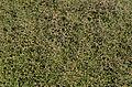 Muehlenbeckia astonii - Jardin des Plantes.jpg