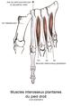 Muscles interosseux plantaires du pied.png