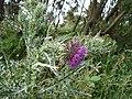Musk Thistle - Carduus nutans - geograph.org.uk - 1165592.jpg