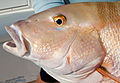 Mutton-snapper-face-picture.jpg