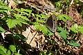 Mycalesis francisca (26549656351).jpg