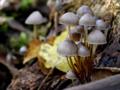 Mycena inclinata (Forêt domaniale de Puvenelle, 2019.10.24).png