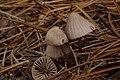 Mycena spp. (30689318331).jpg