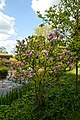 Myddelton House garden, Enfield, London ~ lakeside flowering magnolia tree.jpg