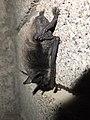 Myotis daubentonii Piazzo 02.jpg