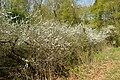 NSG Ithwiesen - Südlicher Teil bei Holzen - Blühender Schlehdorn (Prunus spinosa) (7).jpg