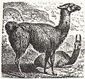 NSRW Llama.jpg