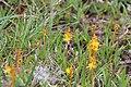 Narthecium ossifragum auf Moorboden, Westküste von Great Bernera.jpg