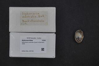 <i>Siphonaria australis</i>