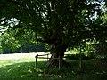 Naturdenkmal Hainbuche Döhren Melle -Unterm Baum- Datei 7.jpg