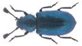 Necrobia violacea (Linnaeus, 1758).png