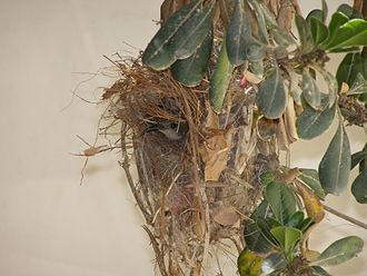 Palestine sunbird - Female bird inside nest.