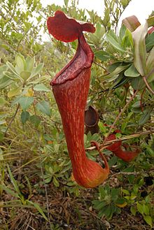 Nepenthes pulchra aerial pitcher.jpg