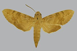 Nephele xylina BMNHE813181 female up.jpg