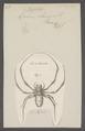 Nephila - Print - Iconographia Zoologica - Special Collections University of Amsterdam - UBAINV0274 068 02 0013.tif