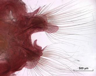 Nephtys - Parapod of Nephtys longosetosa