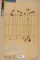Neuchâtel Herbarium - Juncus jacquinii - NEU000044956.jpg