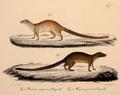 Neue Wirbelthiere zu der Fauna von Abyssinien gehörig (1835) Herpestes sanguineus.png