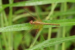 <i>Neurothemis intermedia</i> species of insect