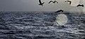 New 8335 White shark predation JF.jpg