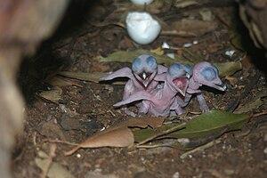 Kookaburra -  Three newly hatched kookaburra chicks