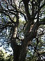 Newtonia hildebrandtii Nibela Peninsula 24 05 2011.JPG