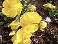 Nice yellow flower in garden.jpg