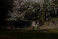 Night cherry phantasy (456750311).jpg