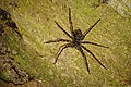 Night trekking - Spider - Bako National Park - Sarawak - Borneo - Malaysia - panoramio.jpg
