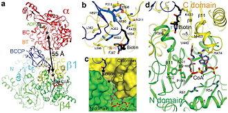 Propionyl-CoA carboxylase - Image: Nihms 213291f 3