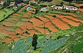Nilgiris vegetable plantations.jpg